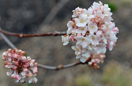 Small intensely fragrant pink flowers of the fragrant viburnum