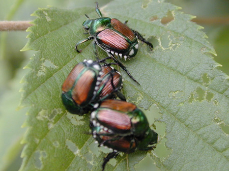 Help with pests from Arboretum experts-photo of Japanese beetles