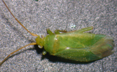 honey_locust_plant_bug_adult