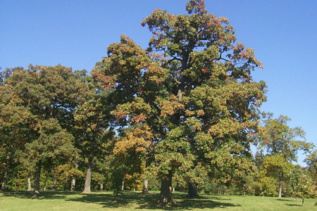 Millennium oak-white oak