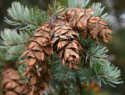 up close pine cones on an evergreen tree with snow