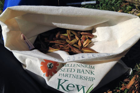 Ash tree seeds