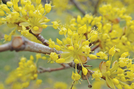 4 yellow petals in showy clusters of the Cornelian-cherry dogwood