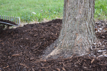 The base of a tree trunk surrounded by dark brown mulch