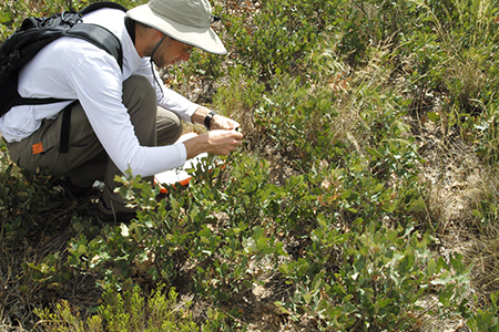 Sean Hoban examines oaks in the wild