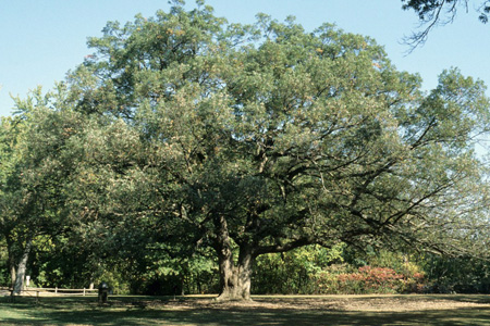 A mature white oak