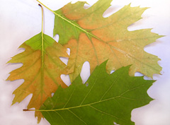 Two leaves infected with oak wilt and a healthy leaf