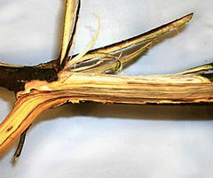 Oak wilt streaking