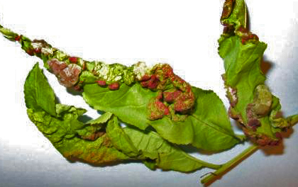 Leaf showing symptoms of peach leaf curl