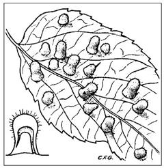 Plant galls