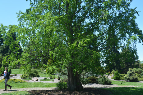 Dawn redwood is a large, conical-shaped tree reaching 70 to 100 feet high. The bark is reddish-brown, rough, peeling into long strips.