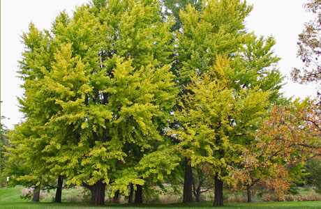 The ginkgo is a large tree with fan-shaped leaves in clusters of 3 to 5 on long shoots; usually notched at the tip