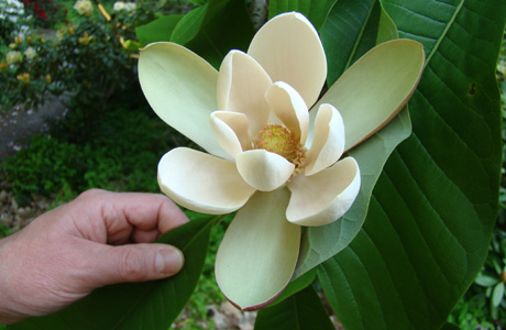 A cream to  white flower of the Magnolia officinalis appear in the spring and are showy and fragrant