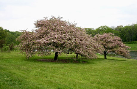 Wild Sweet Crabapples (Malus coronaria): A 20-30 foot tree with a short trunk and wide-spreading branches. Flowers are white, tinged with rose.