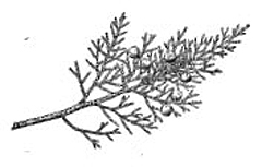 Junipers have two types of needles, one scalelike and the other prickly and sharp.