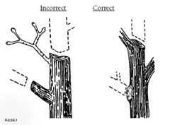 Pruning cuts should always be made near the base of a branch, Figure 1.