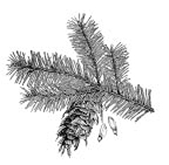 Douglas-fir has flat needles and smooth twigs on pendulous branches.
