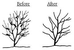Before and after line drawings of the pruning method, heading back.