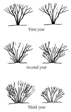 First year, Second year, and Third year line drawings of the pruning method, renewal