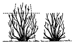 Before and after line drawing of the pruning method, shearing