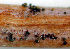 The fungus Rhizosphaera kalkhoffii produces black fruiting structures (pycnidia) that appear as distinct rows of black, pinhead-size dots.