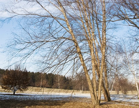 A river birch in winter emphasizes it's long, horizontal lenticels separating into thin, papery plates.