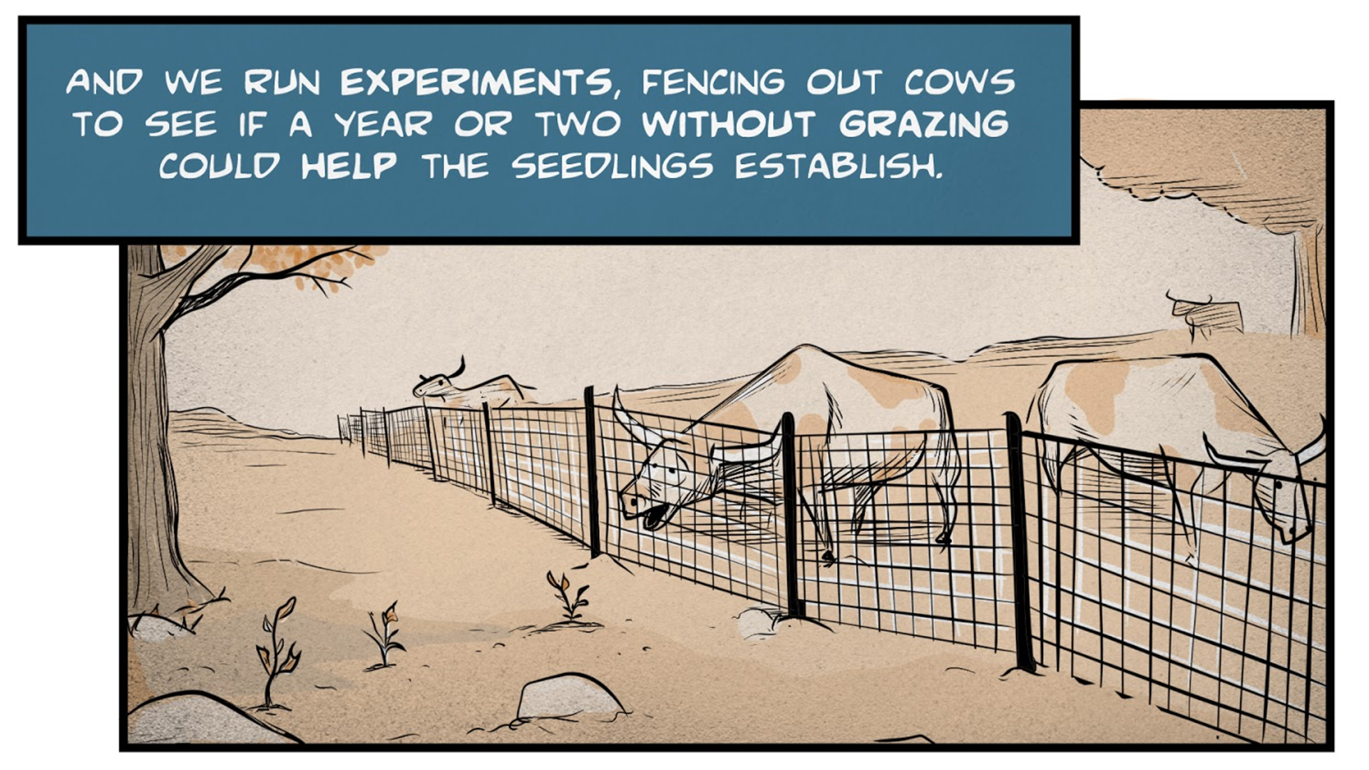 "Monica, the narrator, says, ""And we run experiments, fencing out cows to see if a year or two without grazing could help the seedlings establish."" Several horned cows are grazing behind a fence, just out of reach of the young oak seedlings."