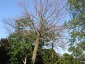 Morton Arboretum Researchers Reveal Bleak News for America's Ash Trees: 5 of 6 species Critically Endangered