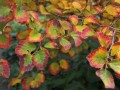 5 Great Shrubs for Fall Color