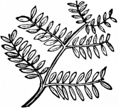 Bipinnately Compound Leaf