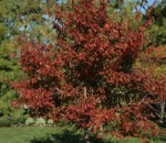 American hornbeam in fall color.