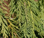 Needled foliage of Alaska cedar.