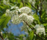 Spring flowers of Amur cherry.