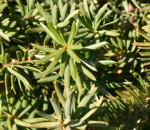 Medium green leaves of Anglo-Japanese yew