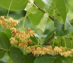 American basswood produces fragrant flowers in summer.