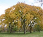 A group of American elms in fall color.