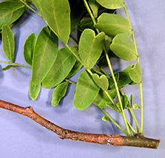 Thyronectria canker