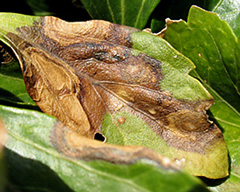 Volutella blight on pachysandra