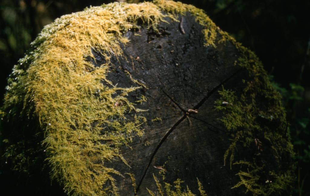 This photograph depicts a tree trunk, rolled on its side, that is covered in a yellowish-green moss.