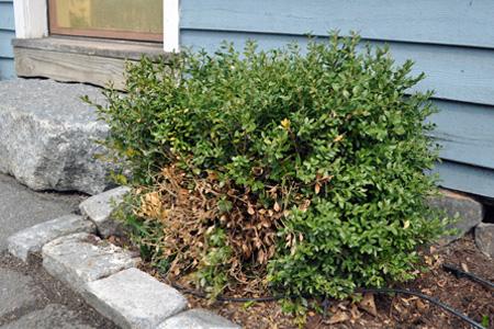 An evergreen bush with a brown spot